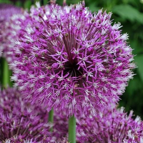 Bulbi Allium jesdianum Early Emperor