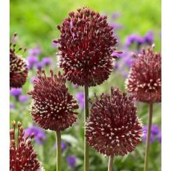 Bulbi Allium amethystinum Red Mohican