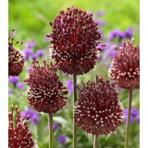 Bulbi Allium amethystinum Red Mohican