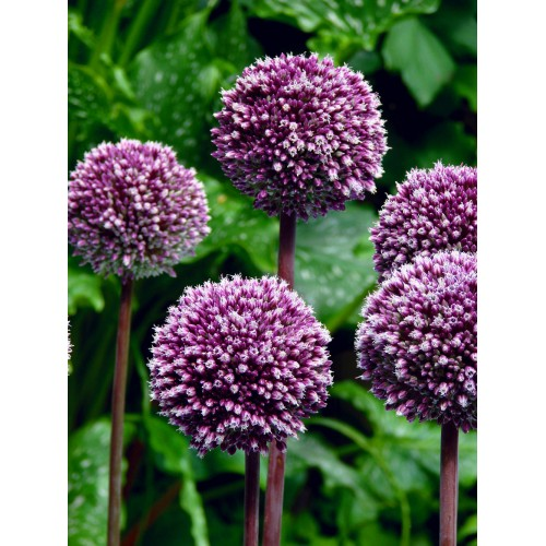 Bulbi Allium Summer Drummer