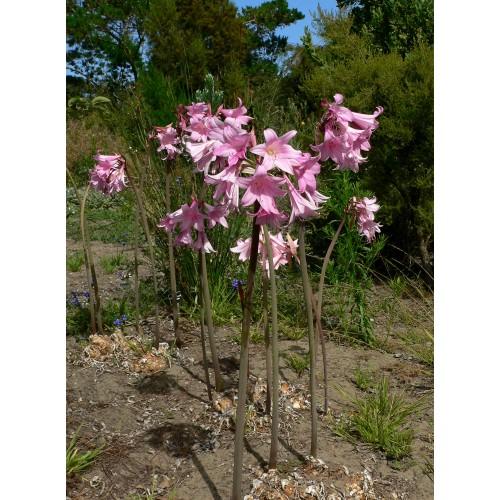 Bulbi Amaryllis belladonna