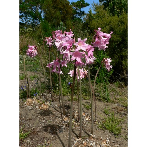 Bulbi Amaryllis belladonna -pachet 10 bulbi