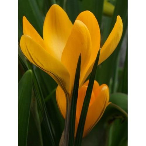 Bulbi crocus Golden Yellow  (Crocus vernus) -pachet 10 bulbi