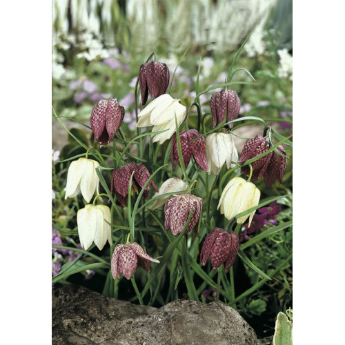 Bulbi Fritillaria meleagris Mix - lalea pestrita -pachet 10 bulbi