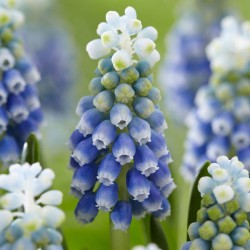 Bulbi Muscari armeniacum Touch of Snow -pachet 50 bulbi