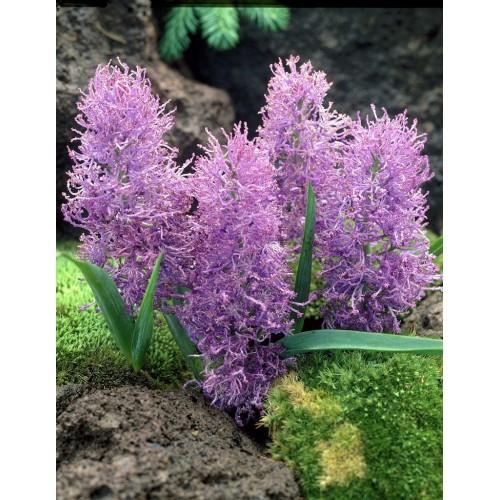 Bulbi Muscari comosum Plumosum -pachet 50 bulbi