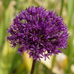 Bulbi Allium  aflatunense Purple Sensation