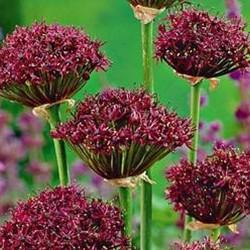 Bulbi Allium nigrum Atropurpureum