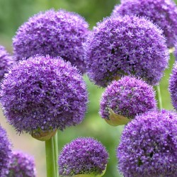 Bulbi Allium  Gladiator