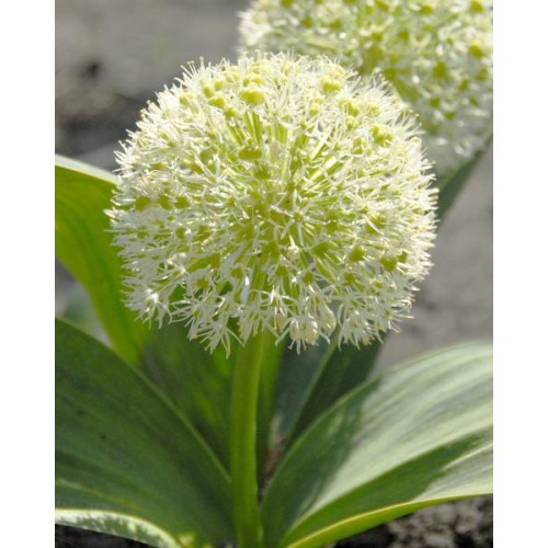 Bulbi Allium karataviense Ivory Queen