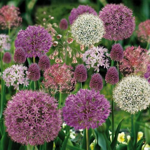 Bulbi Allium-Pachet 5 soiuri (incl. pachet 3 karataviense)