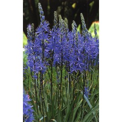 Bulbi Camassia leichtlinii Blue Candle -Camasia