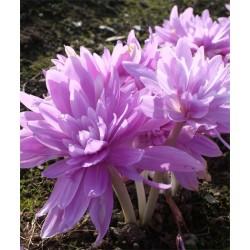 Bulbi Colchicum autumnale (Branduse de toamna) - Waterlily