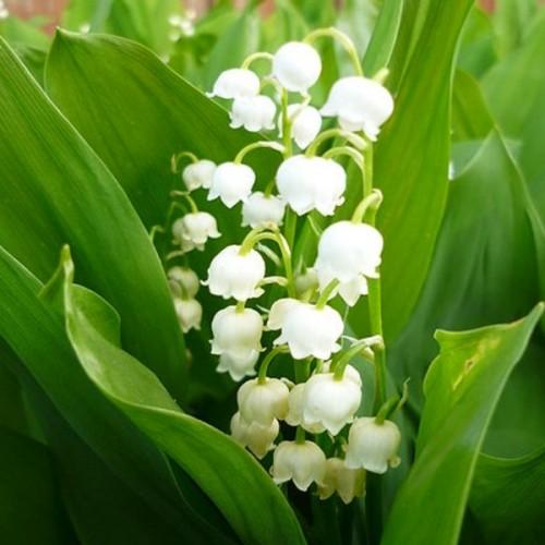 Bulbi Convallaria (Margaritar) - Alb -pachet 5 radacini