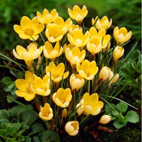 Bulbi Crocus Romance (Crocus chrysanthus) -pachet 10 bulbi