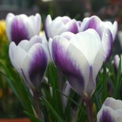 Bulbi crocus Prins Claus  (Crocus chrysanthus) -pachet 10 bulbi