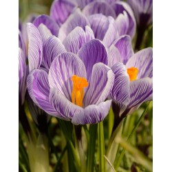 Bulbi crocus King of the Striped  (Crocus vernus) -pachet 10 bulbi