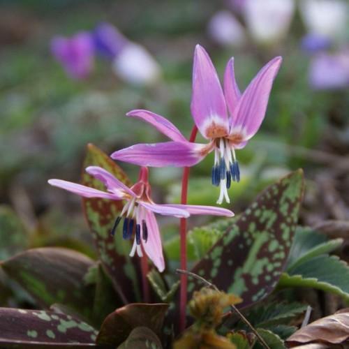 Bulbi Erythronium (Maseaua Ciutei) Purple King