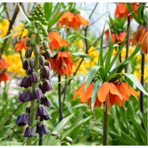 Bulbi Fritillaria  imperiallis- pachet 4 bulbi