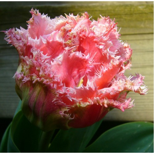 Bulbi lalele batute-fringed  Crispion Love