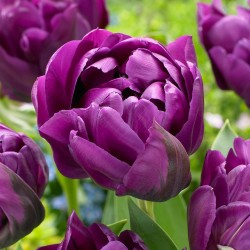 Bulbi lalele Double late (tarzii) Purple Paeony