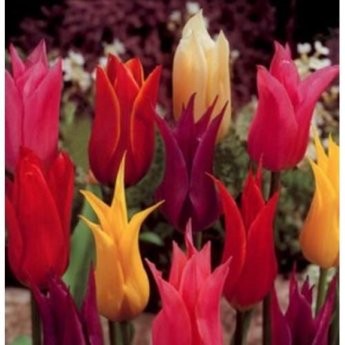 Bulbi lalele Floare de crin(Lily) -Pachet - 6 bulbi