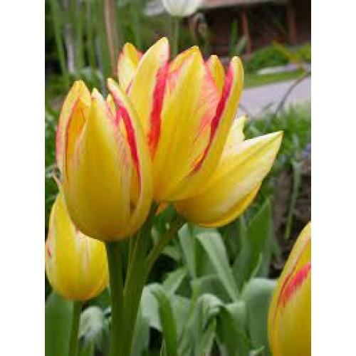 Bulbi lalele Multiflowered Antoinette