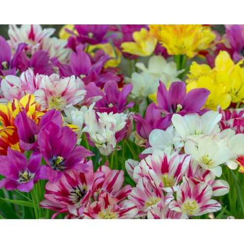 Bulbi lalele Multiflowered(multiflore) -Pachet 4 bulbi