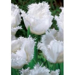Bulbi lalele fringed Swan Wings