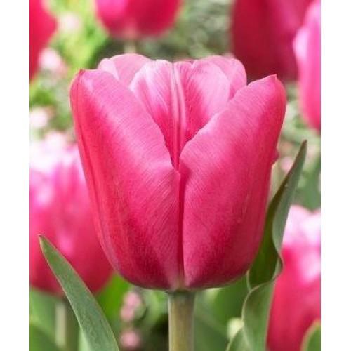 Bulbi lalele triumph  Jumbo Pink