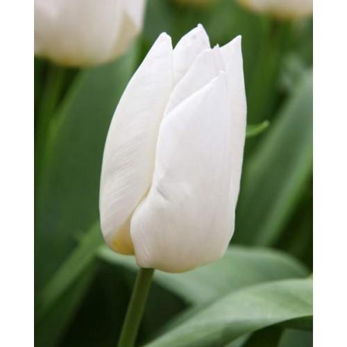 Bulbi lalele Triumph White Prince