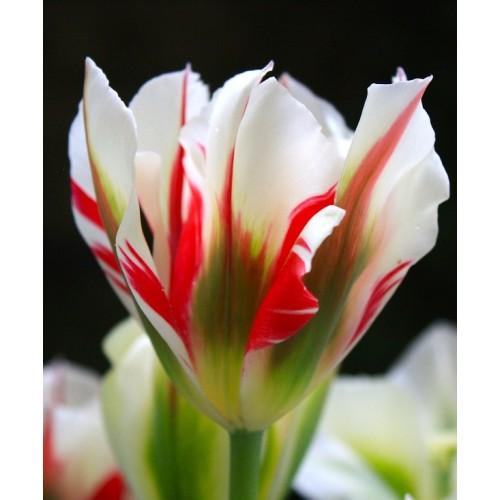 Bulbi lalele viridiflora  Flaming Spring Green