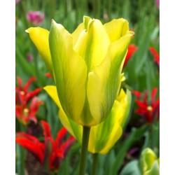 Bulbi lalele viridiflora  Formosa
