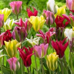 Bulbi lalele viridiflora -Pachet 6 bulbi