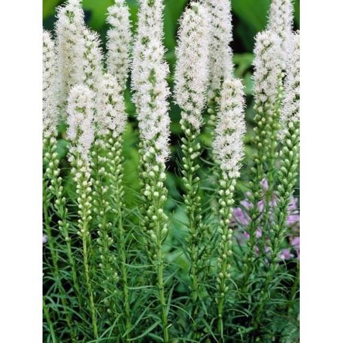 Bulbi Liatris spicata (Stea Stralucitoare) White -pachet 5 bulbi