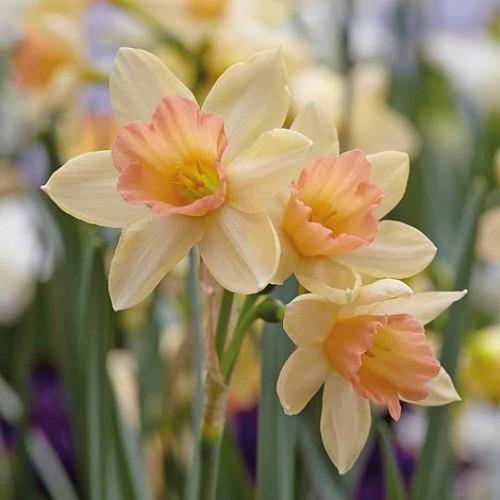 Bulbi narcise multiflowered Blushing Lady
