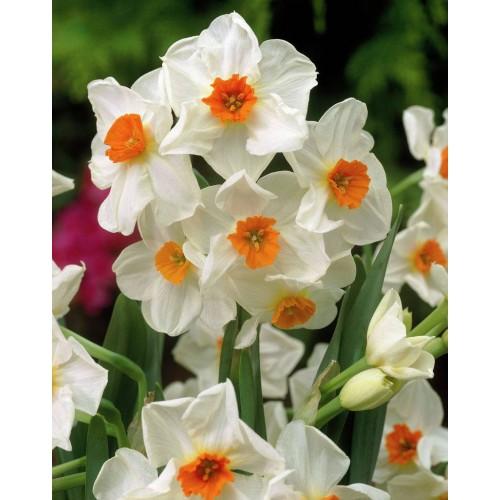 Bulbi narcise multiflowered Geranium