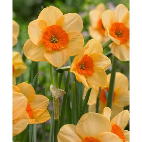 Bulbi narcise multiflowered Kedron