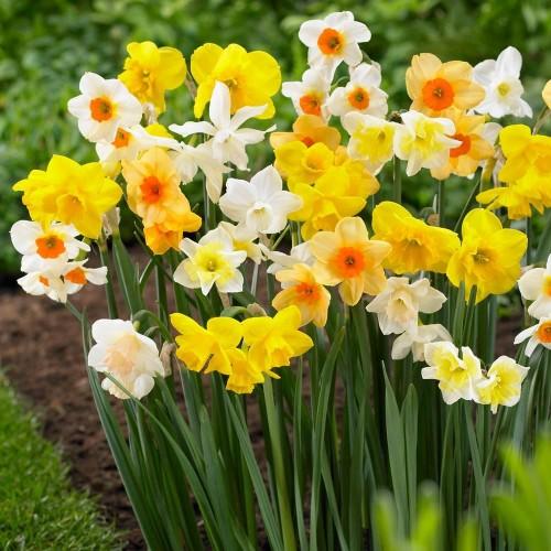 Bulbi narcise multiflowered- Pachet 5 bulbi