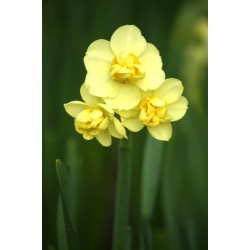 Bulbi narcise Double Yellow Cheerfulness