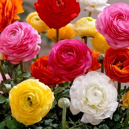 Bulbi Ranunculus asiaticus Tomer Mix -pachet 10 bulbi