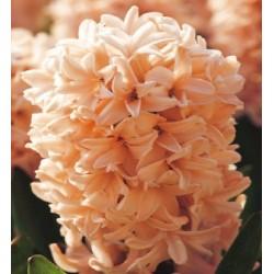 Bulbi zambile Apricot Passion