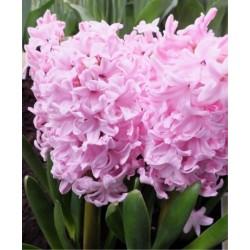 Bulbi zambile Early Pink