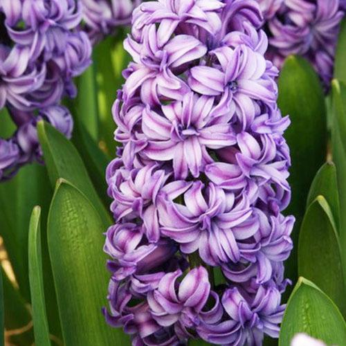 Bulbi zambile Lili Purple