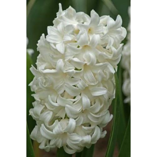 Bulbi zambile Top White