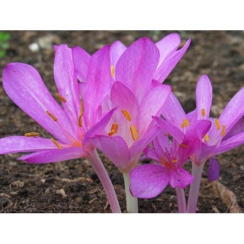 Bulbi Colchicum cilicicum purpureum