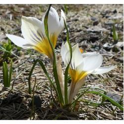 Bulbi Crocus Snowbunting (Crocus chrysanthus) -pachet 10 bulbi