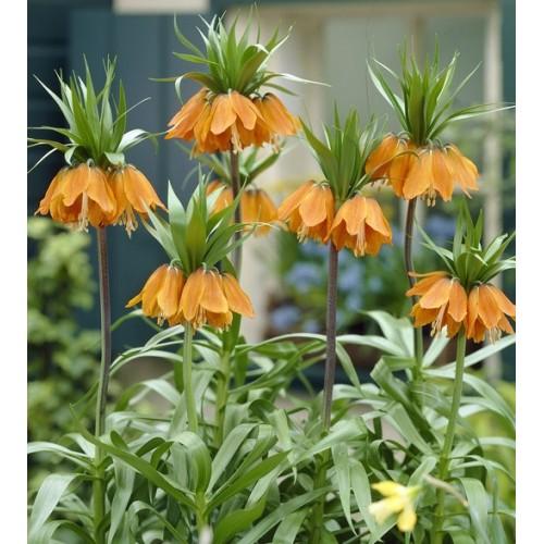 Bulbi Fritillaria  imperiallis  Aurora - Lalea imperiala