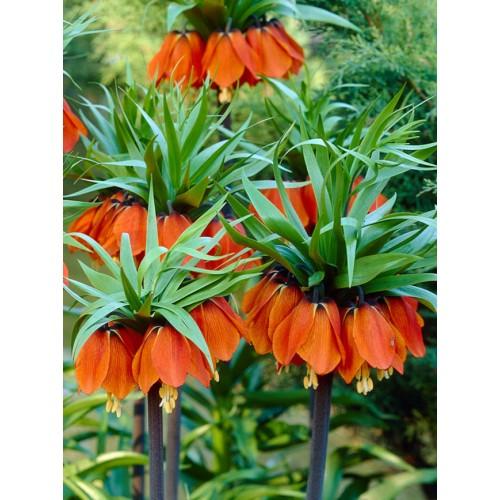 Bulbi Fritillaria  imperiallis  Rubra - lalea imperiala -planta la ghiveci
