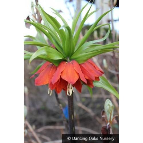 Bulbi Fritillaria  imperiallis  William Rex - lalea imperiala